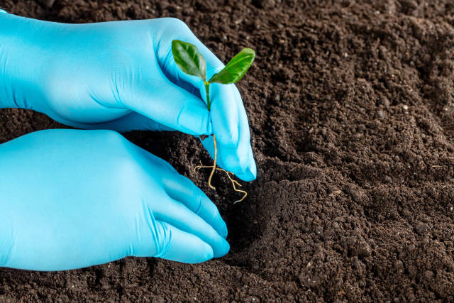 Two hands in gloves are planting the seedling into the soil