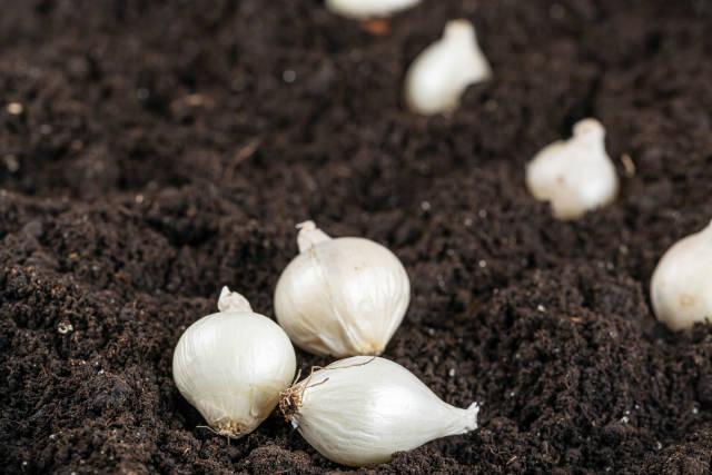White small onion on soil background