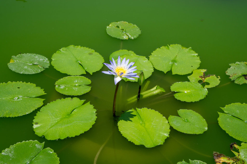 Lotus Flower Water Lily in beautiful Colors with Flower Bud and Large Round Leaves in a Green Pond with Sunlight