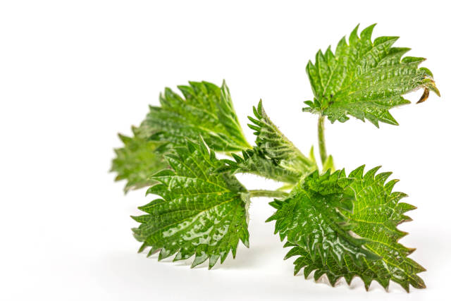 Young nettle leaves on white background