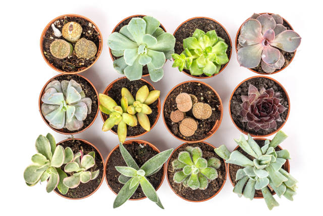 Collection of multicolored succulents, top view