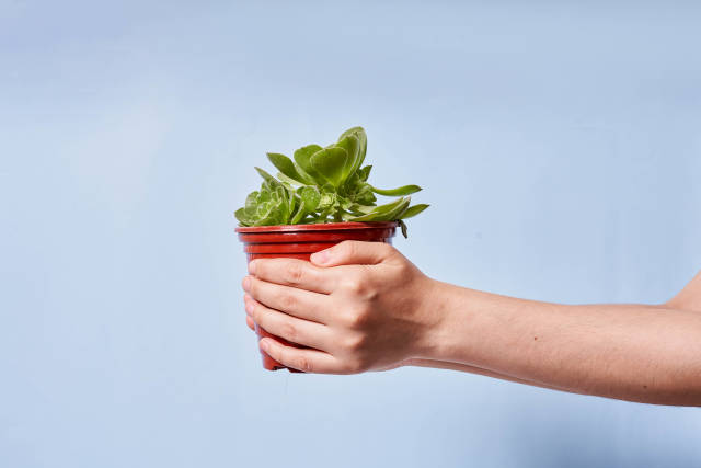 Beautiful and small home garden plant in the pot in hands of a person