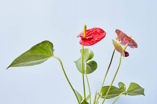 A beautiful anthurium flower