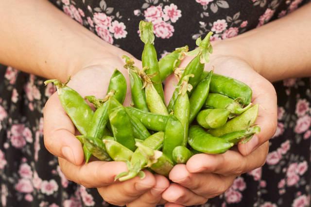 A female hand holding fresh green peas